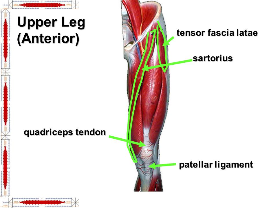 leg muscles and ligaments diagram 1995 honda civic fuse hip & lower limb - ppt video online download