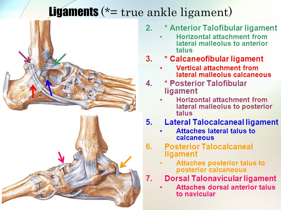Tibiocalcaneal Ligament In Ankle