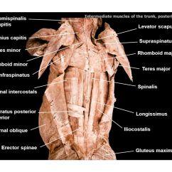 Cat Muscle Anatomy Diagram 07 Honda Civic Fuse Deltoid Splenius Capitis Teres Minor Infraspinatus Major - Ppt Video Online Download