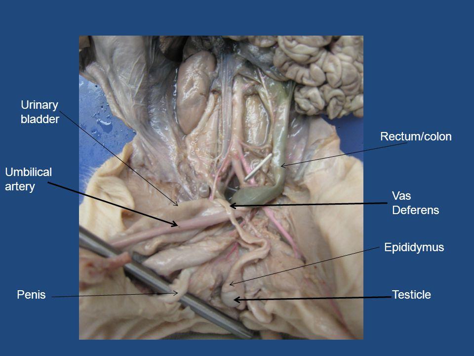 Ziemlich Vas Defrens Galerie - Anatomie und Physiologie des ...