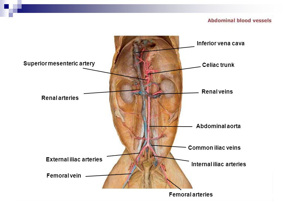 Outstanding Abdominal Vessels Anatomy Images - Anatomy Ideas ...
