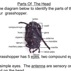 Grasshopper Insect Diagram Sub Wiring 12 Volt Dissection Ppt Video Online Download