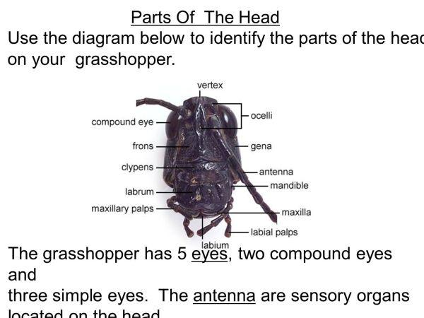 Grasshopper Dissection - Ppt Video Online