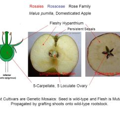 Diagram Of A Flower And Its Parts 1999 Subaru Legacy Radio Wiring Fruits Seed: Ovule Contents Testa (seed Coat) = Wall - Ppt Video Online Download