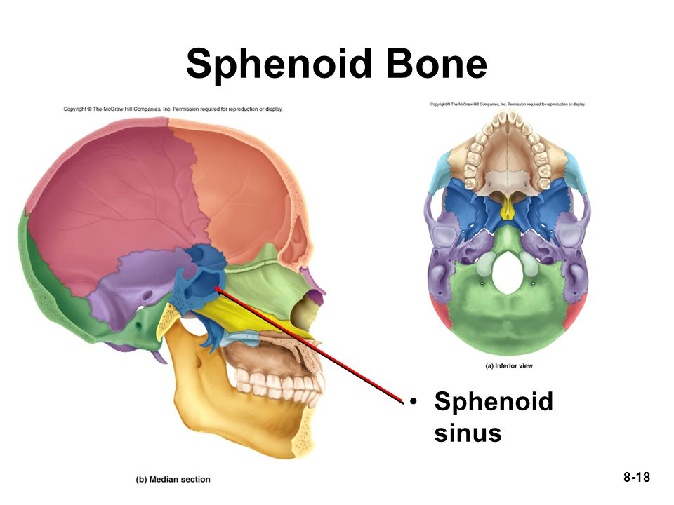 Maxillary Ethmoid And Sphenoid Sinuses
