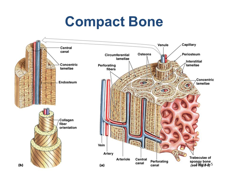 diagram of a bone inside solar panel wiring skeletal system overview - ppt video online download