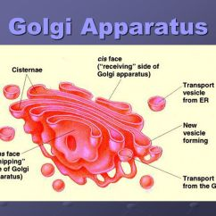 Golgi Apparatus Structure Diagram Earthquake With Labels Cell Organelles Mr Nichols Phhs Ppt Video Online Download