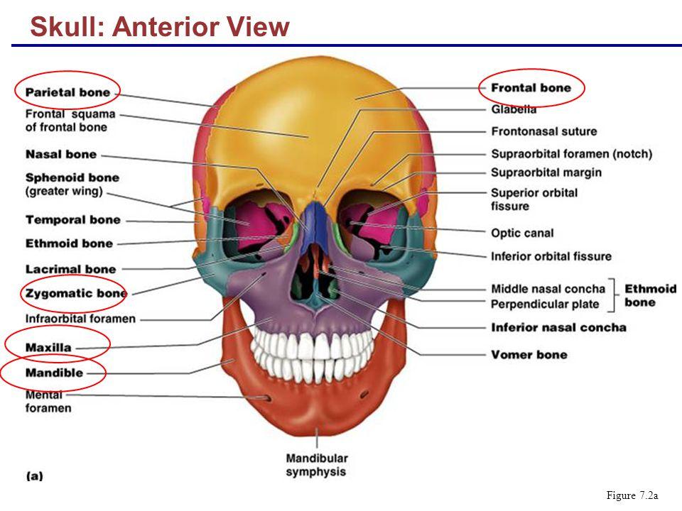 human skull landmarks diagram minn kota wiring the skeleton part a ppt video online download