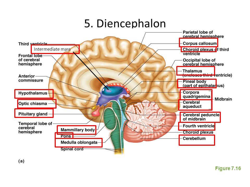 brain diagram thalamus er tutorial for beginners regions of the cerebral hemispheres (cerebrum) diencephalon - ppt video online download