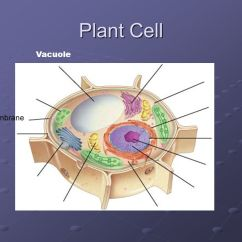 Plant Cell Diagram Vacuole 99 Tahoe Fuel Pump Wiring Organelles © Cramer Ppt Video Online Download