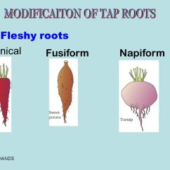 Parts Of A Flowering Plant Diagram 2003 Honda Accord Fuse Morphology Plants - Ppt Video Online Download