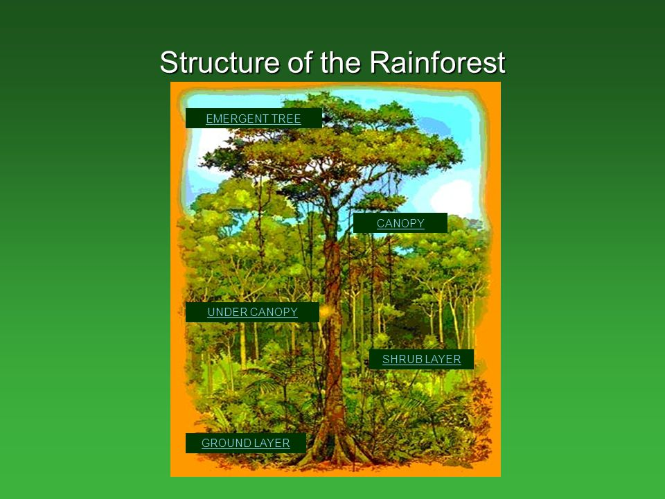 forest canopy diagram 2010 dodge journey sxt wiring tropical rainforests climate distribution of rainforest - ppt video online download