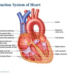 Sinoatrial Node Diagram 2004 Wrx Headlight Wiring The Cells Of Heart Two Types Cardiac Muscle That Are Involved In A Normal Heartbeat ...