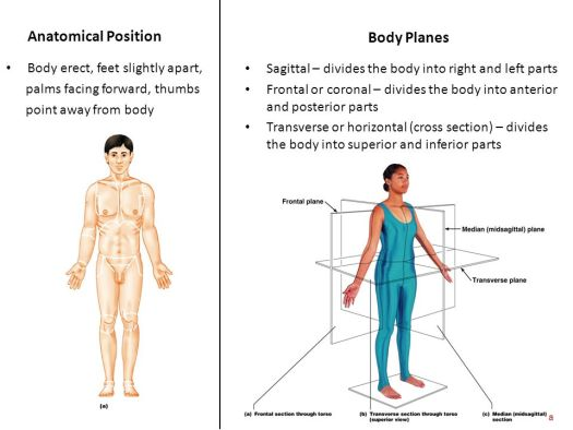 Human Anatomy And Physiology Body Planes Periodic Diagrams Science