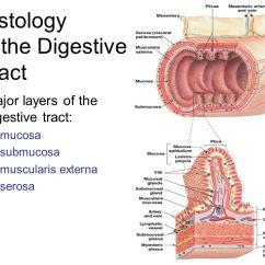 Anatomy Digestive Diagram Salivary Glands Loncin Quad Wiring System - Ppt Video Online Download