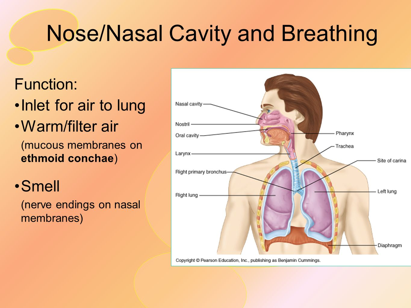 diagram of the nose and its functions 2009 holden colorado stereo wiring head neck ii throat pharynx ppt video online download