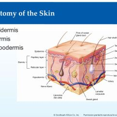 Skin Assessment Diagram Atwood Water Heater Wiring The Integumentary System - Ppt Download