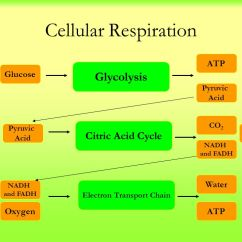 Photosynthesis And Cellular Respiration Diagram Cng Kit Wiring - Ppt Video Online Download