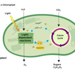 Chloroplast Diagram With Labels Emg 89 Pickup Wiring Chapter 7 Photosynthesis Ppt Download