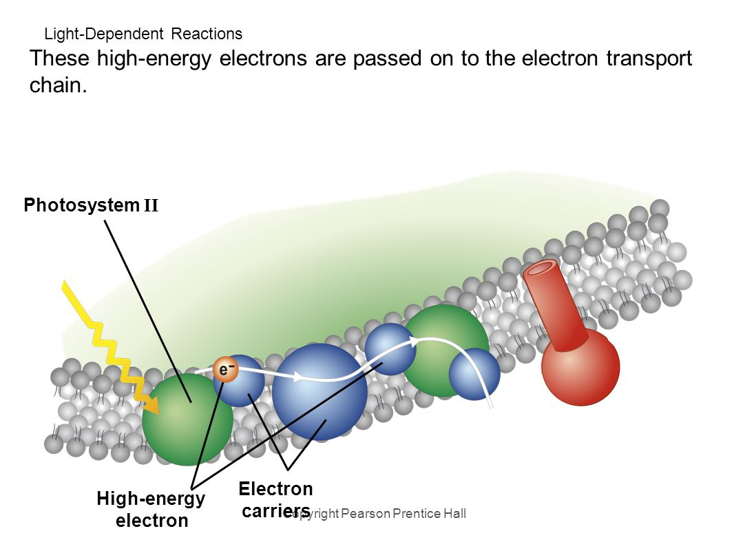 light reactions photosystem diagram gibson eds 1275 wiring chapter 7 photosynthesis ppt download