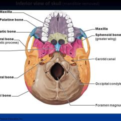 Human Mandible Diagram 1966 Ford Mustang Coil Wiring Axial Skeleton: The Skull Slides By Vince Austin; - Ppt Video Online Download