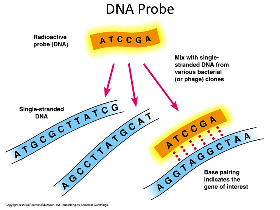 sample sequence diagram example 2007 gmc sierra trailer wiring chapter 14: genetic engineering -modification of the dna an organism to produce new genes ...