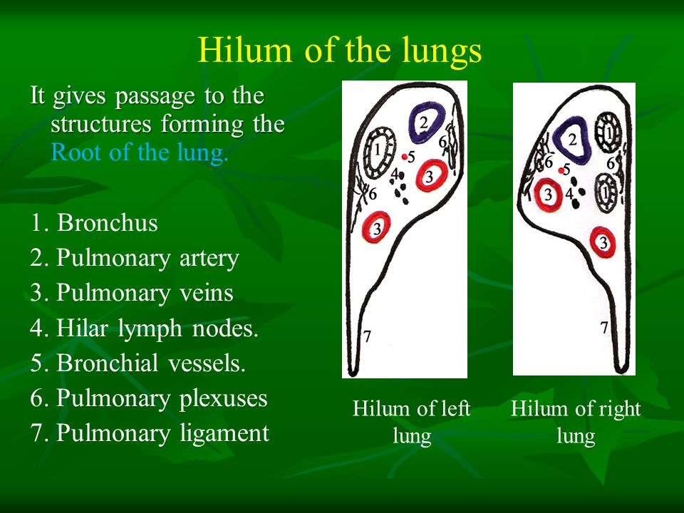 Image result for right and left hilum differences