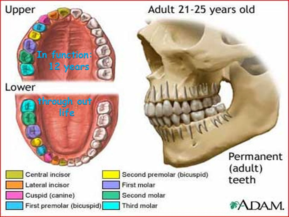 adult tooth diagram superwinch wiring human dentition. - ppt video online download