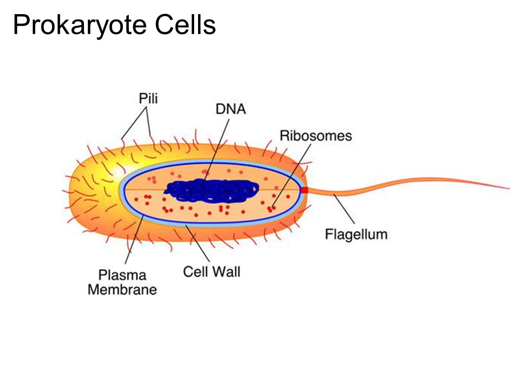 Chloroplast Endosymbiosis