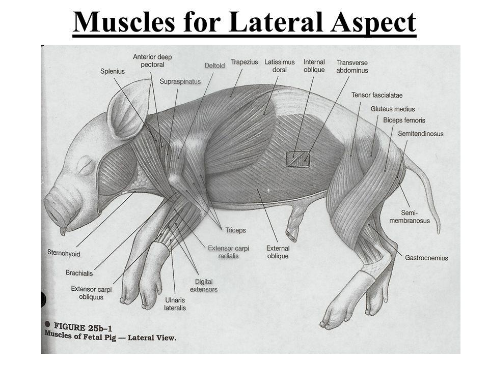fetal pig internal anatomy diagram 1997 honda civic ex stereo wiring grade distribution for test ch. 10 & ppt download