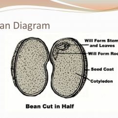 Inside A Lima Bean Diagram 7 Blade Trailer Wiring With Brakes Goal: To Understand The Importance Of Seeds And Their Parts - Ppt Video Online Download