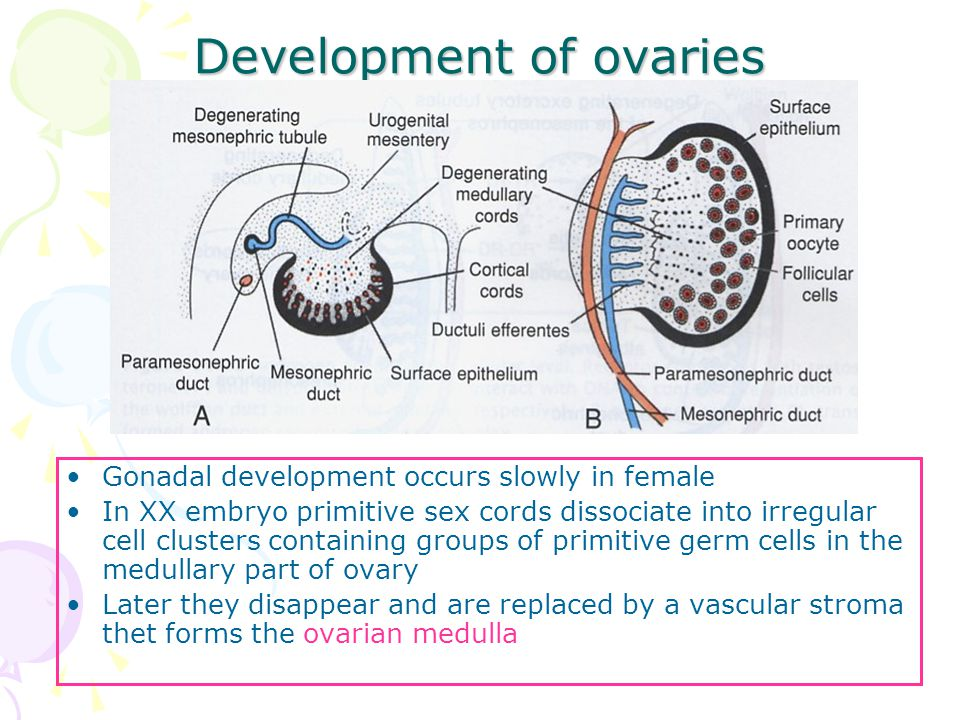 Image result for development of ovaries