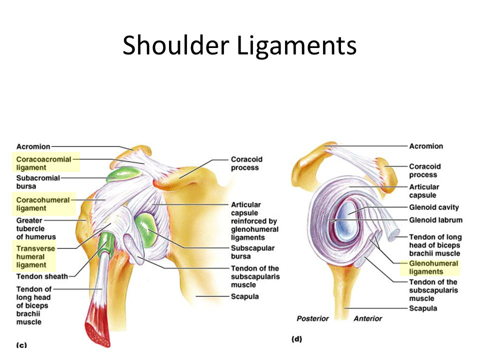 The Rear View Of Shoulder Anatomy