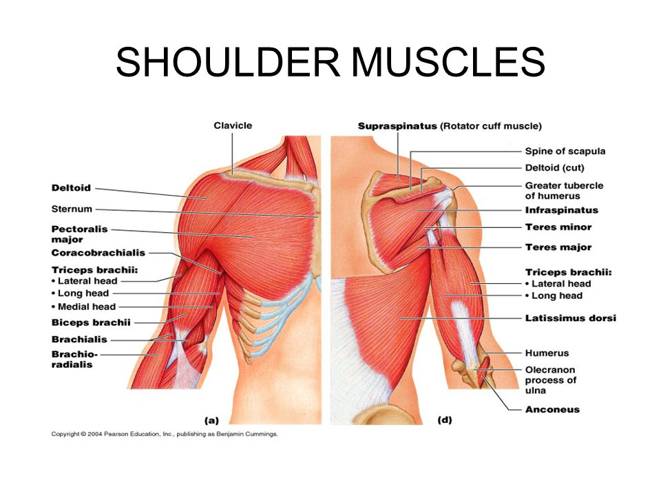 Muscular Anatomy Of The Shoulder Blade