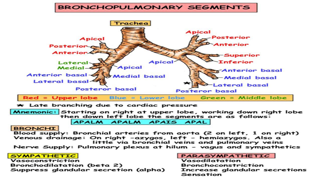Beautiful Lung Anatomy Segments Gallery - Anatomy and Physiology ...