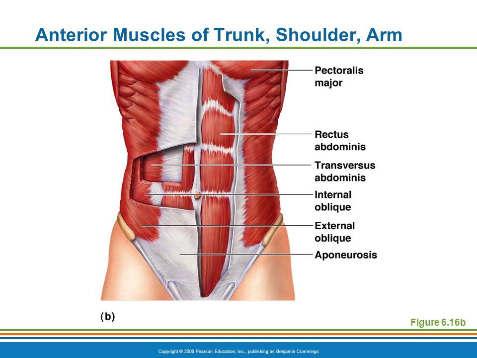 muscular system diagram worksheet 3000gt alternator wiring the system. - ppt video online download