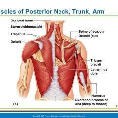 Triceps Brachii Diagram John Deere Lt155 Wiring The Muscular System. - Ppt Video Online Download