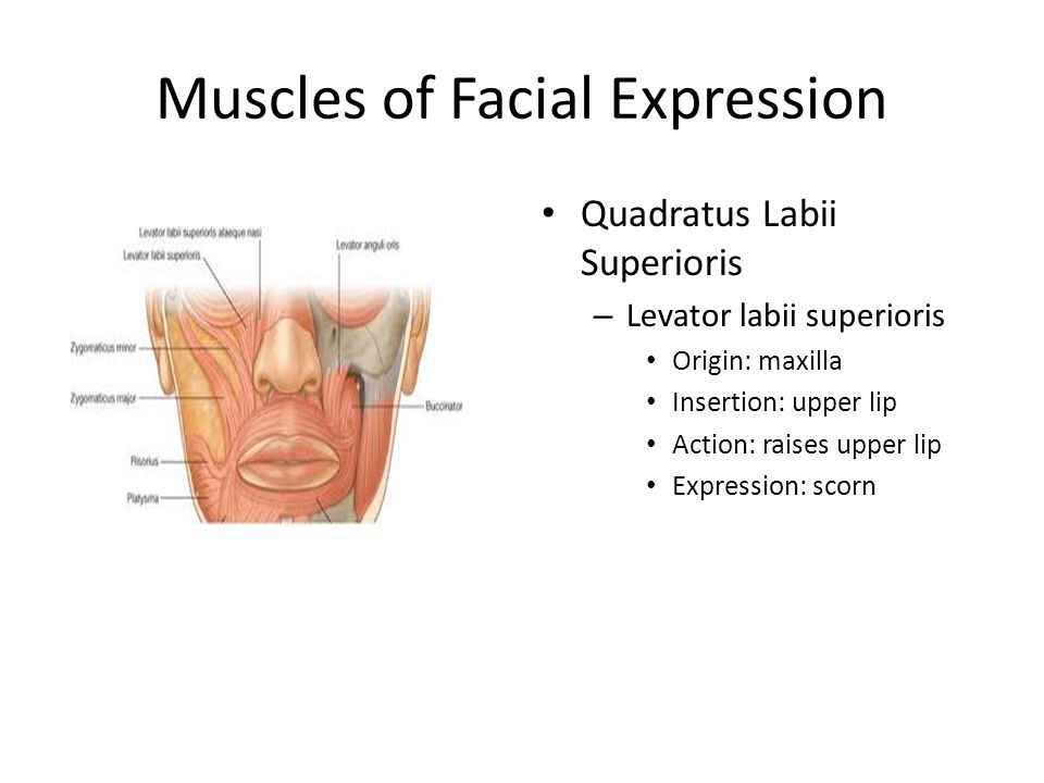 muscles of facial expression diagram dsl phone jack wiring muscular system ppt download