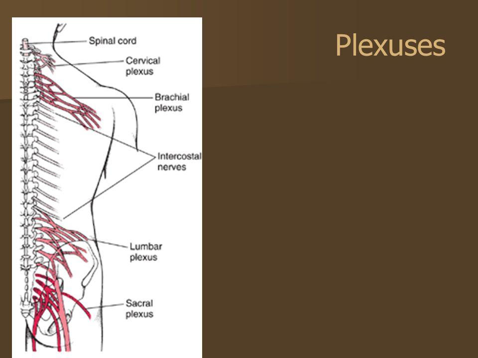 brain diagram thalamus solar light wiring central nervous system, spinal nerves, cranial nerves - ppt video online download