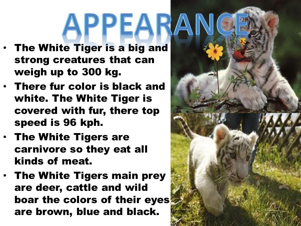 Amazing Facts about White Tigers By katrina  ppt video online download