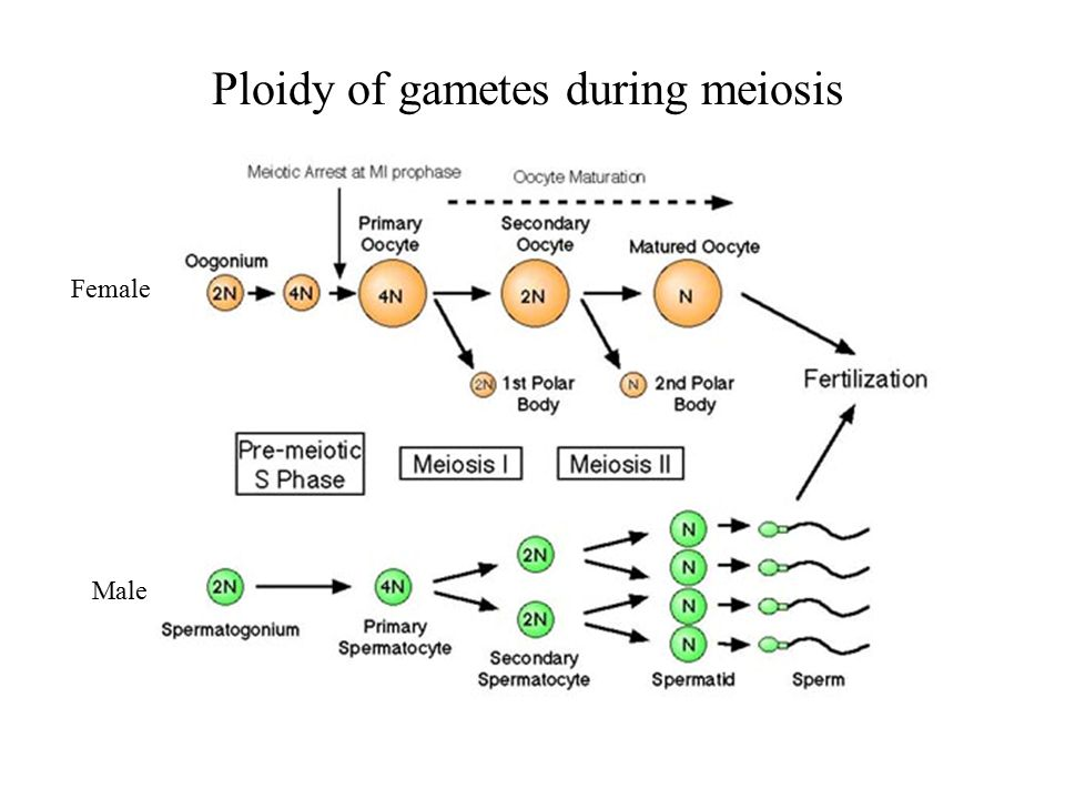 stages of mitosis and meiosis diagrams 24v battery wiring diagram meiosis. - ppt download