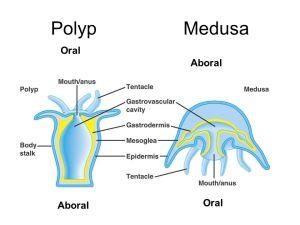 Cnidarians Hydrozoa – Hydras Scyphozoa – Sea Jellies