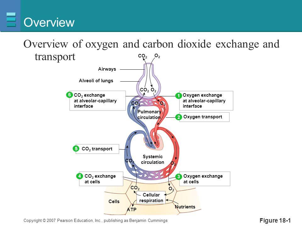 Gas Exchange In Capillaries Function