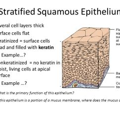 Stratified Columnar Epithelium Diagram Trolling Motor Dual Battery Wiring Simple Squamous - Ppt Video Online Download