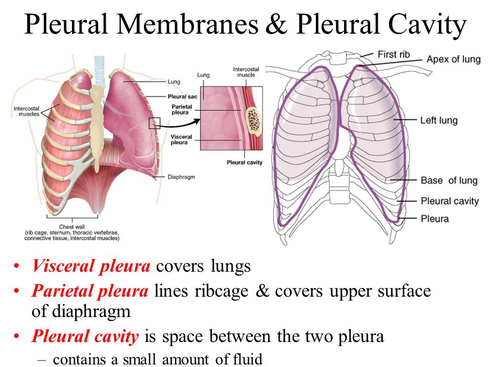 lung alveoli diagram softball field template the respiratory system - ppt video online download