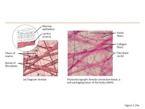 Connective Tissue  ppt video online download