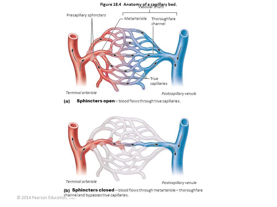 skeletal and muscular system diagram grasshopper internal anatomy figure 18.1a generalized structure of arteries, veins, capillaries. artery vein © 2014 ...