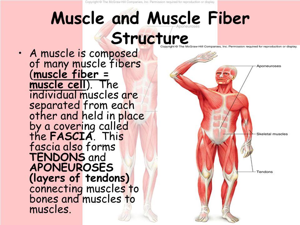 Mitochondria Muscle Fiber Anatomy