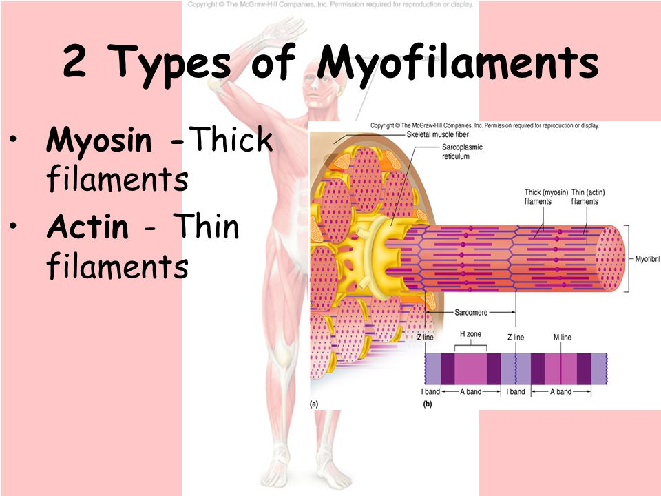 Chapter 9 Muscular System Ppt Download