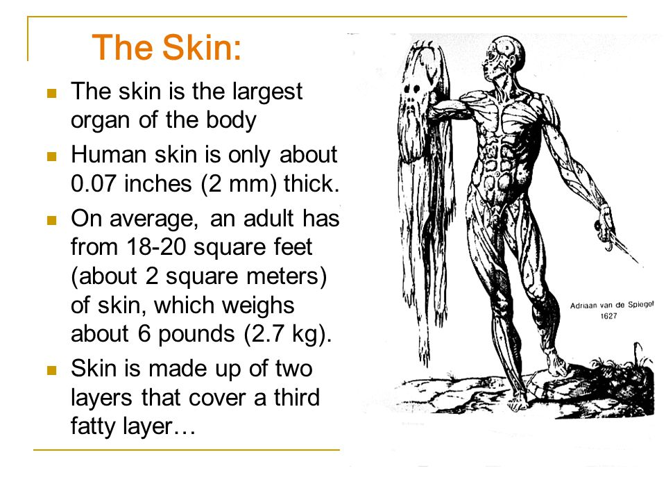 The Human Skin The Largest Organ Of The Integumentary